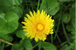 8 eetbare planten die je in Nederland kunt vinden - paardenbloem