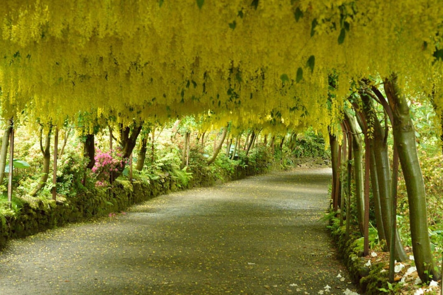 5 prachtige tunnels die door de natuur zelf zijn gemaakt - Laburnum Arch in Wales