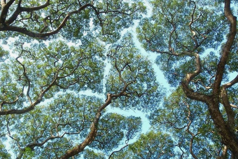 Crown Shyness - boomtoppen die elkaar niet aanraken